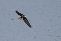 Eagle Fishing-5904.jpg by Mully410 * Images