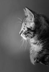 Félin chat photo chaton noir et blanc