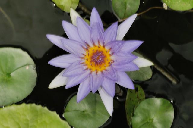 馬公國中水池中的睡蓮