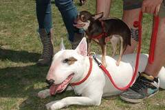 Chiwawa and bullterrier