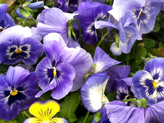 Pansies at Green Meadow (Posterized Photo) by randubnick