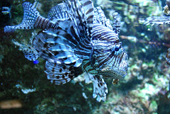 coral reef, animal, fish, coral reef fish, organism, marine biology, fauna, freshwater aquarium, lionfish, scorpionfish, underwater, reef,
