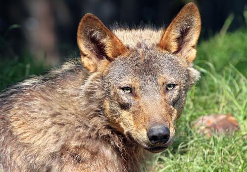 Iberische wolf Gaiazoo IMG_0308 by j.a.kok