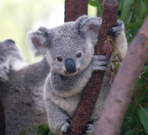 Cute-Koala-01