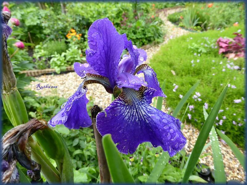 P1010474-2 Iris Siberica Ever again