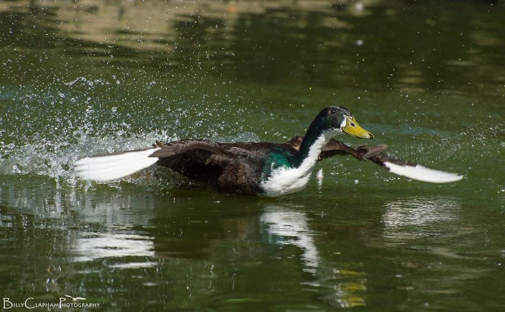 feral duck take off flight water splash billy clapham