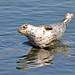 Harbor Seal by MoonfireDigitalArt