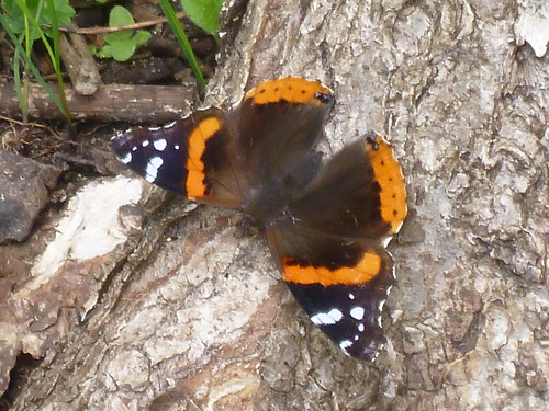 Red Admiral