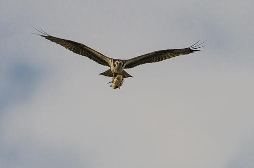 Osprey with Fish-6428.jpg