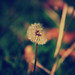 The grip of a dandelion. by Violet Paradise (mostly off)