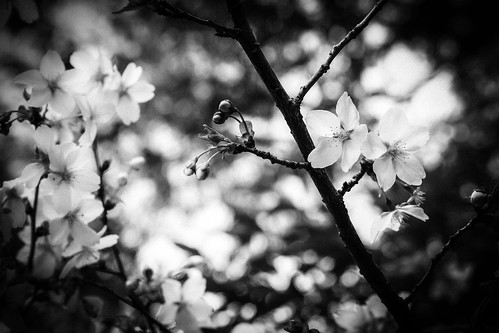Eight dividing blooming —monochrome edition by Stroll diary