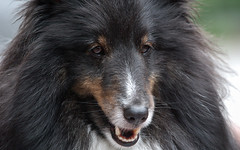 dog breed, animal, dog, mammal, tervuren, rough collie, collie,