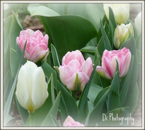 White Tulips and Pink and White Ruffled Tulips by di_the_huntress