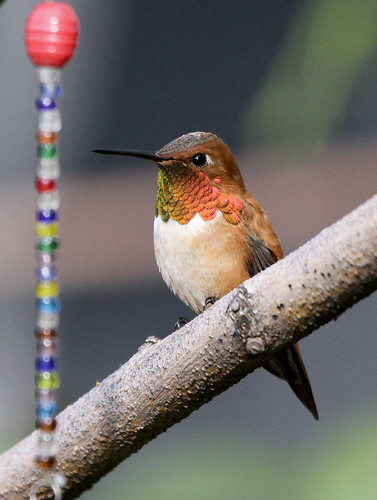 Rufus Hummingbird (Selasphorus rufus) Male And A String Of Beads