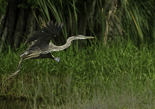 Lake Istokpoga -Juvenile Great Blue Heron In-Flight