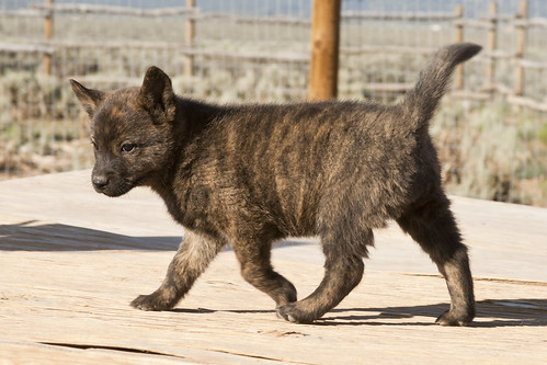Haru-Third-Litter-Pup2-Female-Day49b