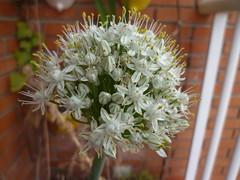 Cebolla en flor