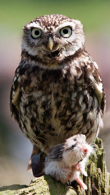 Little Owl with a little friend!