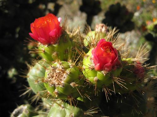 A cactus in the Colca Canyon - Peru