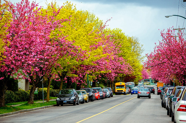 Spring Fresh Verdure VS. Cherry Blossoms, in Vancouver BC Canada
