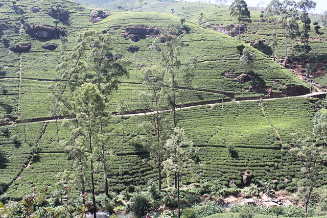 20130118_7708-Mackwoods-tea-plantation