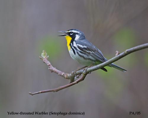 usa pa 2014 yellowthroatedwarbler woodwarblers raccooncreekstateparkpa may2014 setophagadominica
