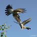 The battle of the Cuckoos by hvhe1