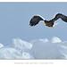 Steller's Sea Eagle by Marsel van Oosten