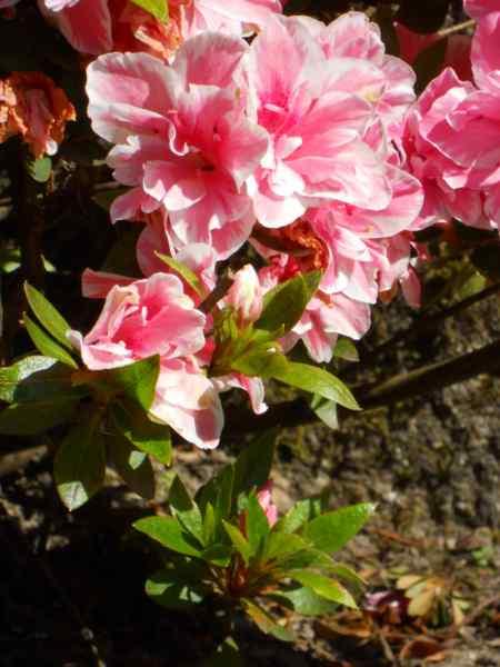 Rhododendron simsii 'De Waele's Favourite' v 1