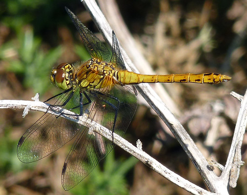 Female Ruddy Darter