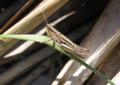 Euchorthippus declivus - Sharp-tailed Grasshopper - Criquet des bromes - 04/07/11