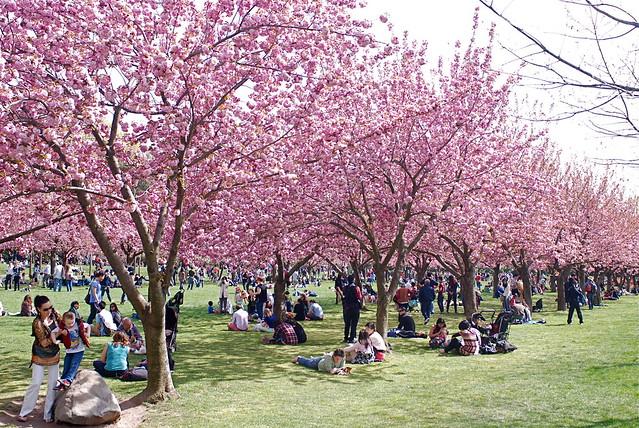Cherry Blossom Season At Brooklyn Botanic Garden Flickr Photo Sharing