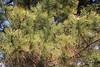 Photo:Longleaf Pine / Pinus palustris / 大王松(ダイオウショウ) By TANAKA Juuyoh (田中十洋)