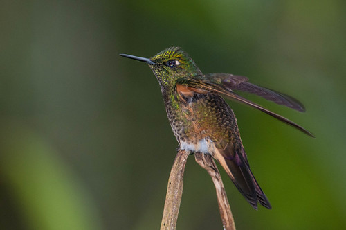 birds animals ecuador hummingbirds animalia vertebrates trochilidae pichincha bufftailedcoronet boissonneauaflavescens