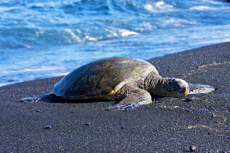 Hawaiian Green Sea Turtle on Black Sand