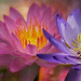 Waterlilies3 by Reg Wilson ( catching up)
