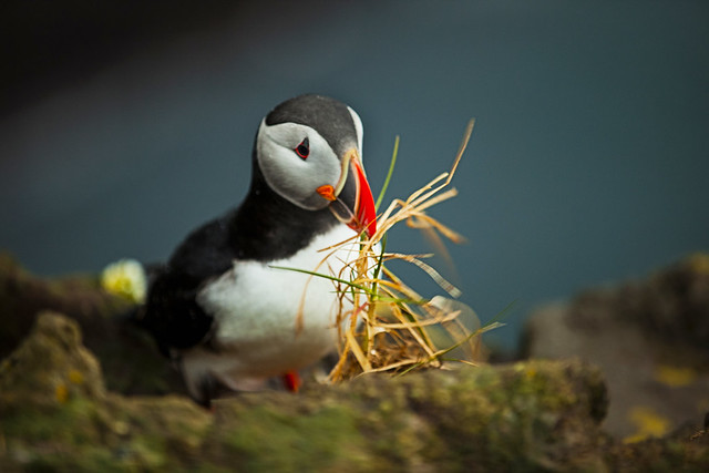 Atlantic Puffin making nest  in Látrabjarg - Iceland