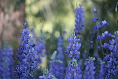lavender(0.0), flower(1.0), english lavender(1.0), plant(1.0), lilac(1.0), lavender(1.0), flora(1.0),
