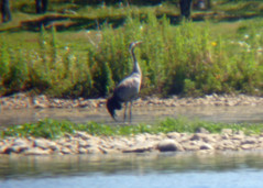 Common Crane, Lingham Lake