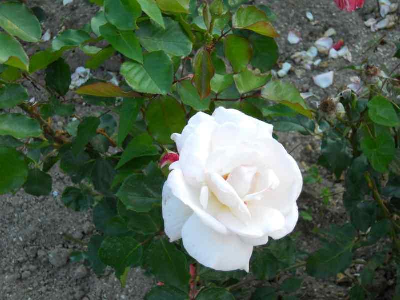 Rosa grandiflora 'White Swan' 1