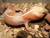 "<a href=""http://www.flickr.com/photos/thereptilarium/5907170382/"">Photo of Hemitheconyx caudicinctus by TheReptilarium</a>"