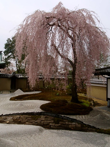 Weeping sakura tree in blossom over a Zen rock garden