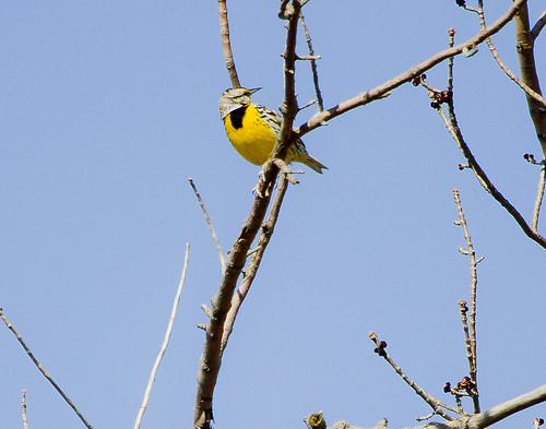 Eastern Meadowlark by Ricky L. Jones Photography