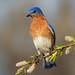 Eastern Bluebird, male by Phiddy1