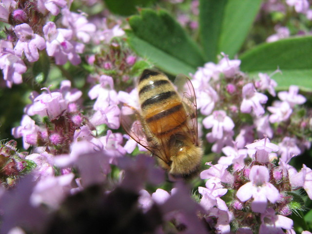 Honeybee on thyme flowers