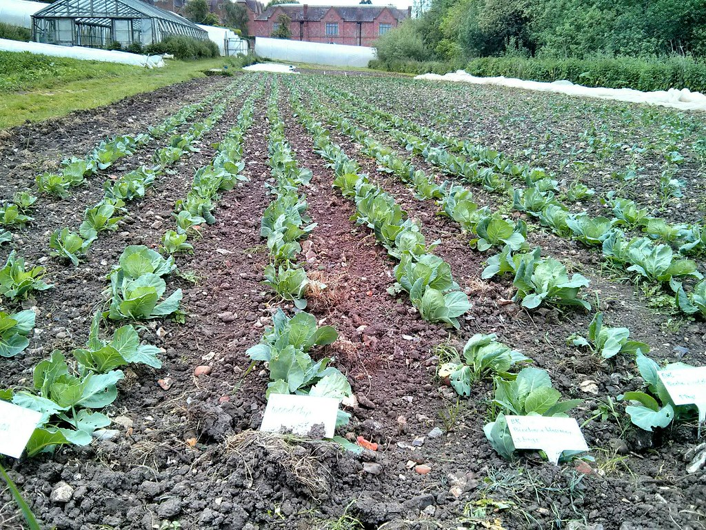 21 May 2014 - The trial of cabbage plants, grown as transplants in different growing media. Although a lot of variation, those grown in woodchip compare well.