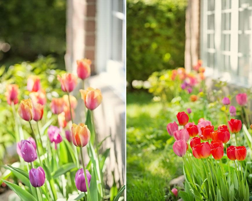 Tulipanes - JackieRueda.com