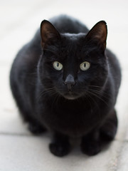 animal, small to medium-sized cats, pet, mammal, black cat, bombay, close-up, cat, whiskers, black, manx,
