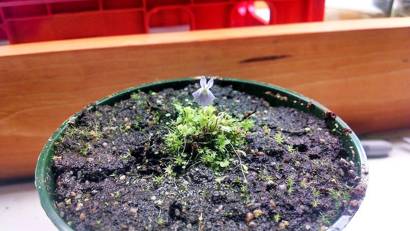 Utricularia sandersonii blue form flower.