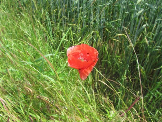 Mit einer ro ro roten Blüte fing es an